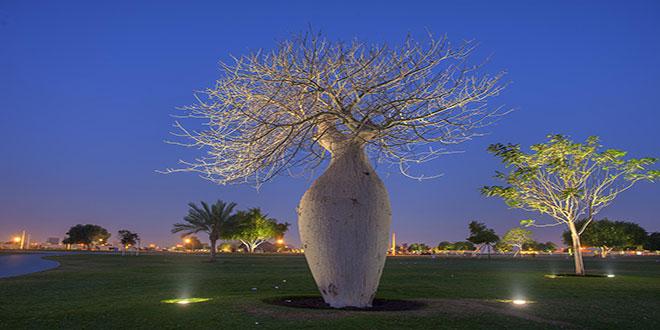 Bulvarda Çorisia Baobab ağacı