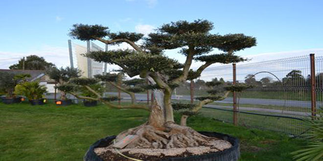 Milli Parkda Avropa zeytunu ağacı