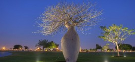 Milli Parkda Çorisia Baobab ağacı